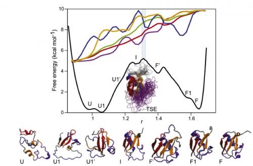 The folding landscape of ubiquitin highlighting the different structures in the 'energy basins'. As can rapidly seen it folds from an unfolded state via a distinct intermediate into the folded state. It is interesting to note that major secondary structures and an ubiquitin like topology is already visible in the transition state ensemble (TSE). The colored lines on top denote the structural properties of the folding trajectory (blue, number of helical residues; orange, number of sheet residues; green, Cα RMSD; purple, contact order; red, fraction of native contacts). Copyright by PNAS from(Piana et al., 2013).