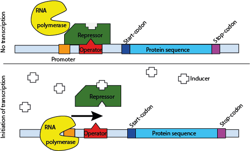 Schematic representation of the promoter mode of action. Up: When a repressor protein is bound to the operator DNA sequence (which always lies upstream of the start-codon of the 'protein of interest') the RNA polymerase is not able to start transcribing the protein sequence. Bottom: When an inducer is added the repressor proteins detaches from the operator, subsequenty the RNA polymerase will congregate with the promoter and the protein can be transcribed into mRNA. The definition of promoter and operator are interchangeably used since the majority of literature referst to a promoter as the region consisting of the promoter and operator (which, from this picture can rapidly be seen, is incorrect). (Adopted and modified from Wikipedia)